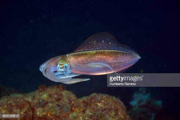 Caribbean Reef Squid.
