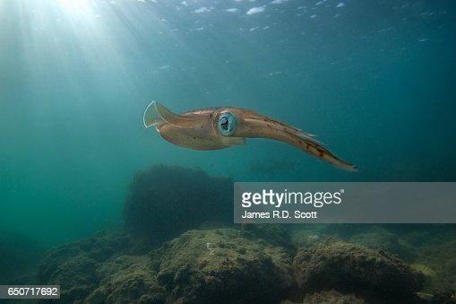 Caribbean Reef Squid with sunburst
