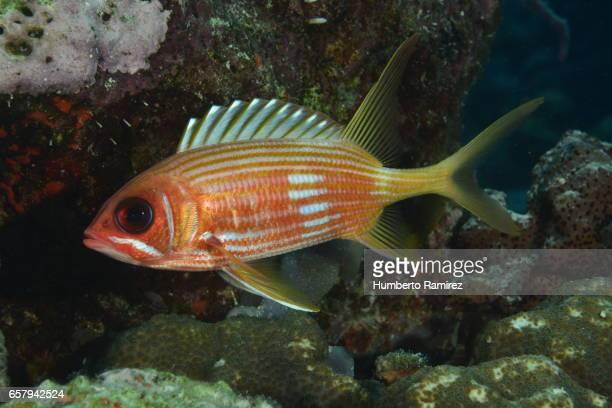caribbean sea reef fish - squirrel fish stockfoto's en -beelden
