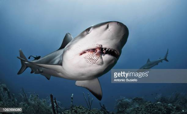 caribbean sharks eating lionfish - shark attack - fotografias e filmes do acervo