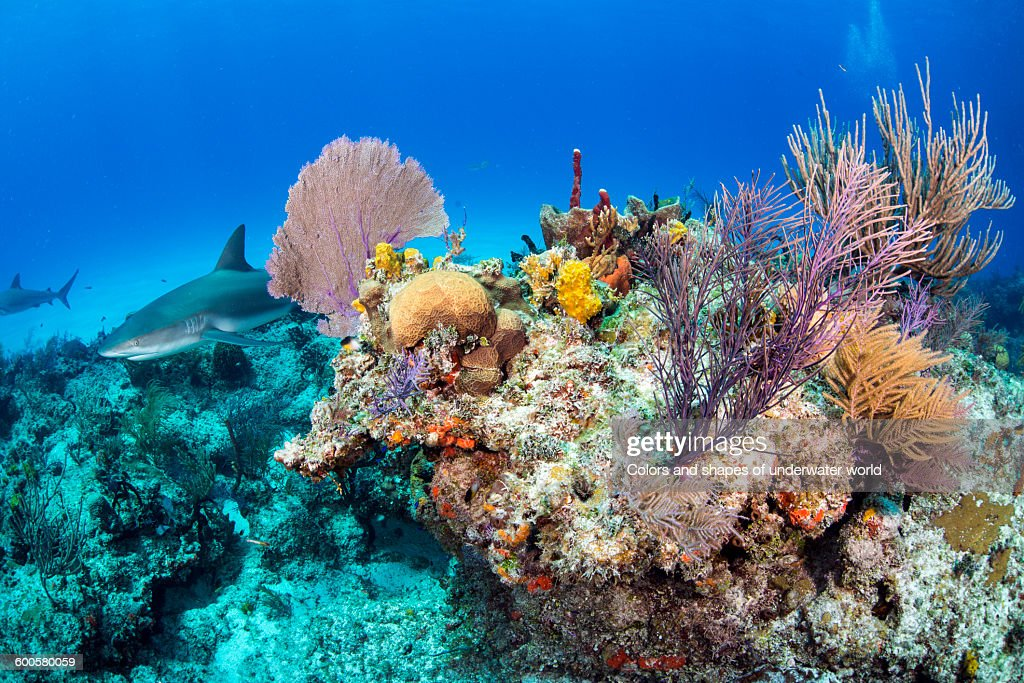 Caribbean sharks inside the corals : Stock Photo
