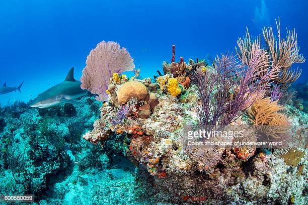 caribbean sharks inside the corals - reef stock pictures, royalty-free photos & images