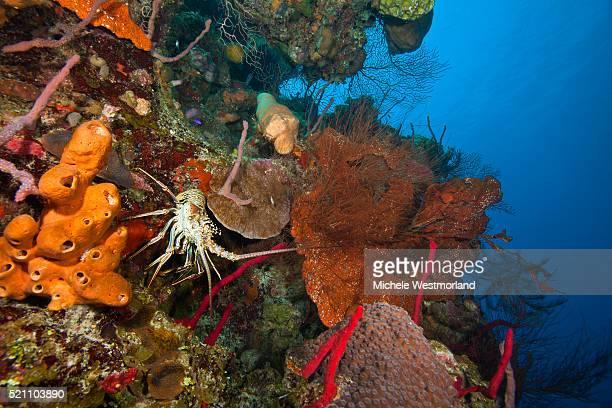 Caribbean Spiney Lobster, Belize