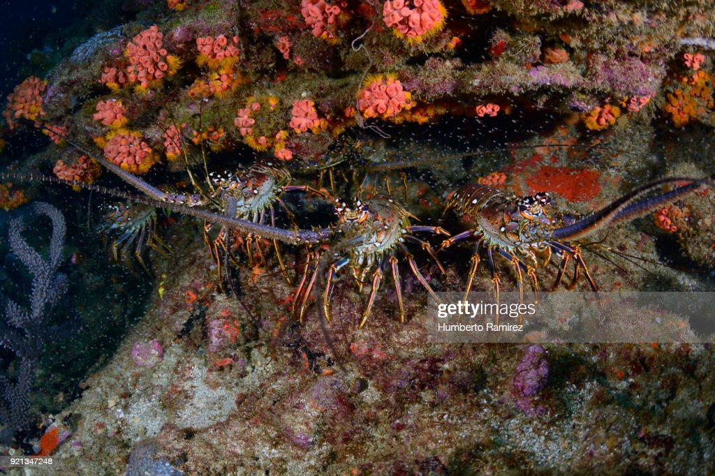 Caribbean Spiny Lobsters. : Stock Photo