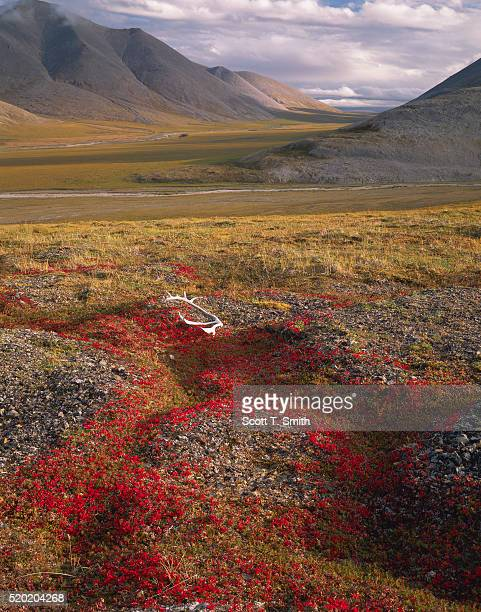 Caribou Antlers on Bearberry Foliage