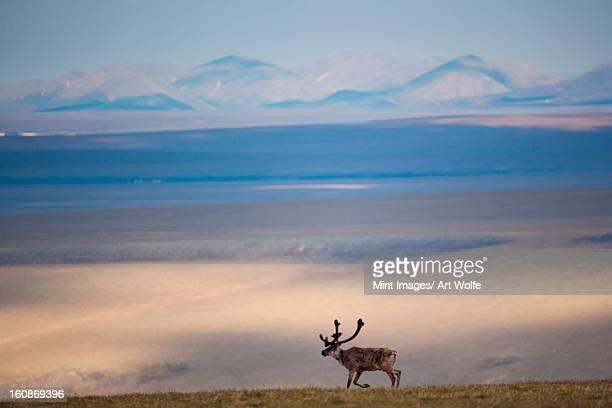 caribou, arctic national wildlife refuge, alaska, usa - 国立野生生物保護区 ストックフォトと画像
