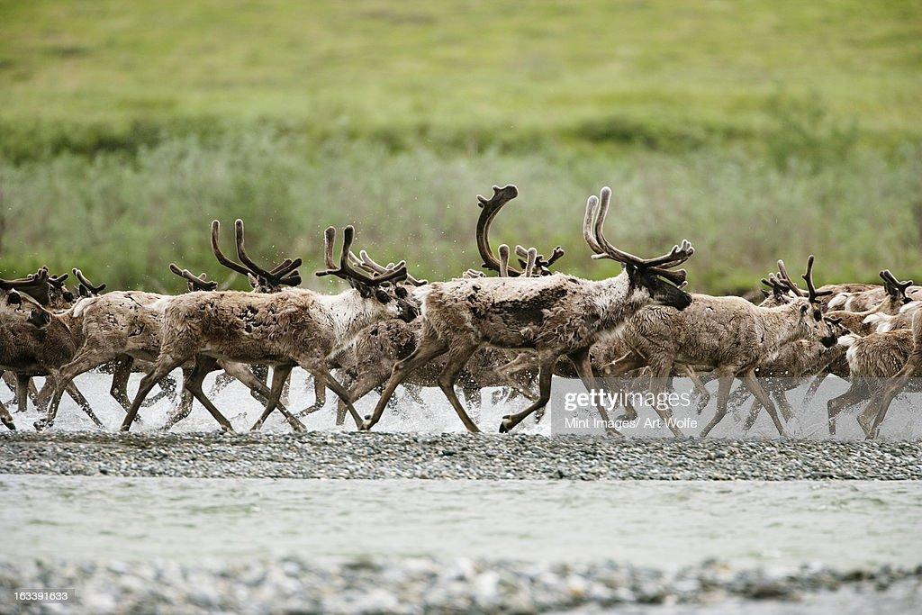 Caribou, Arctic National Wildlife Refuge, Alaska, USA : Stock Photo