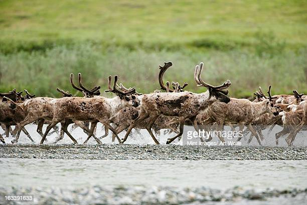 caribou, arctic national wildlife refuge, alaska, usa - reindeer stock pictures, royalty-free photos & images