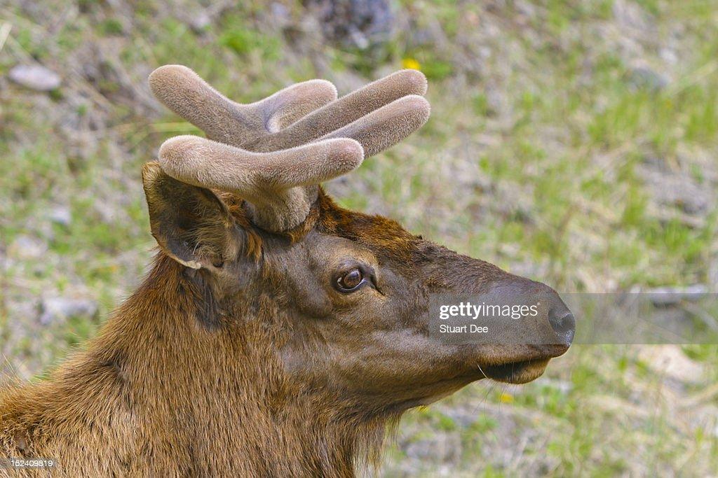 Caribou (reindeer) , Banff, Alberta, Canada : Stock Photo