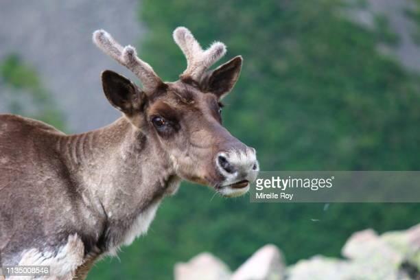 caribou femelle sur le mont jacques cartier - gaspe peninsula stock pictures, royalty-free photos & images