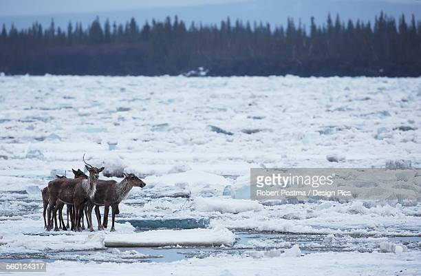 Caribou from the Porcupine Caribou herd cross over the ice of the Porcupine River
