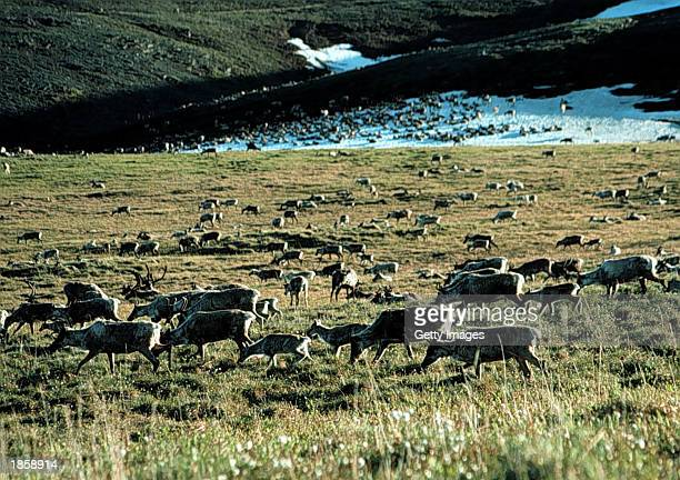 Caribou graze in the Arctic National Wildlife Refuge in Alaska in this undated file photo. The U.S. Senate voted not to allow drilling for oil in the...