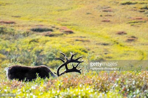 caribou grazing - highlywood stock photos and pictures