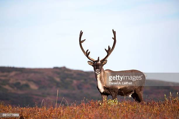 Caribou in Autumn