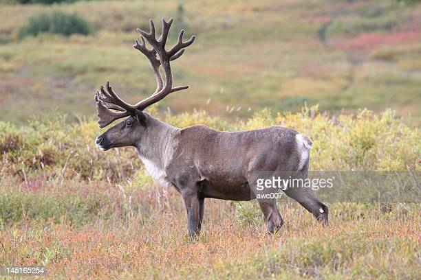 Caribou in Denali during the fall