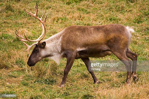 Caribou in Profile, Side View as Reindeer Animal Grazes Alone