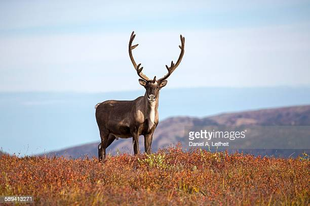 caribou in the fall - rentier stock-fotos und bilder