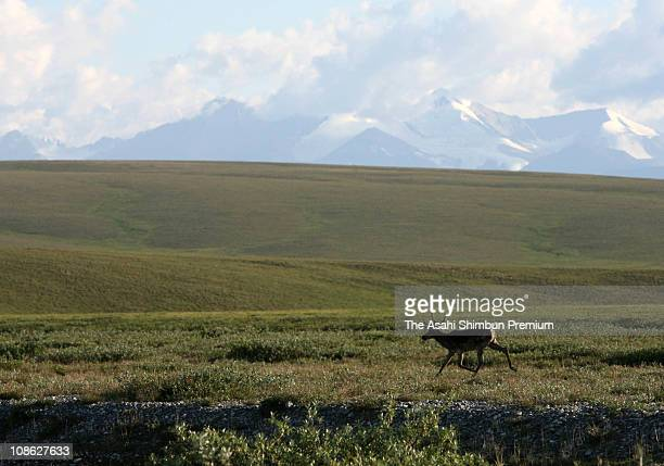 A caribou is seen at the Arctic National Wildlife Refuge on August 2 in Alaska