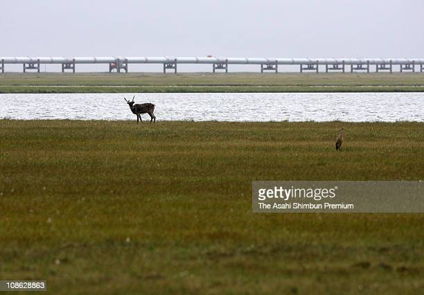 A Caribou is seen with the pipeline at 30km south from Prudhoe Bay in the Arctic National Wildlife Refuge on July 20 2006 in Alaska