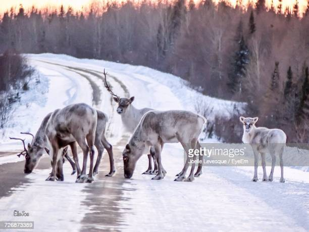 Caribou On Road