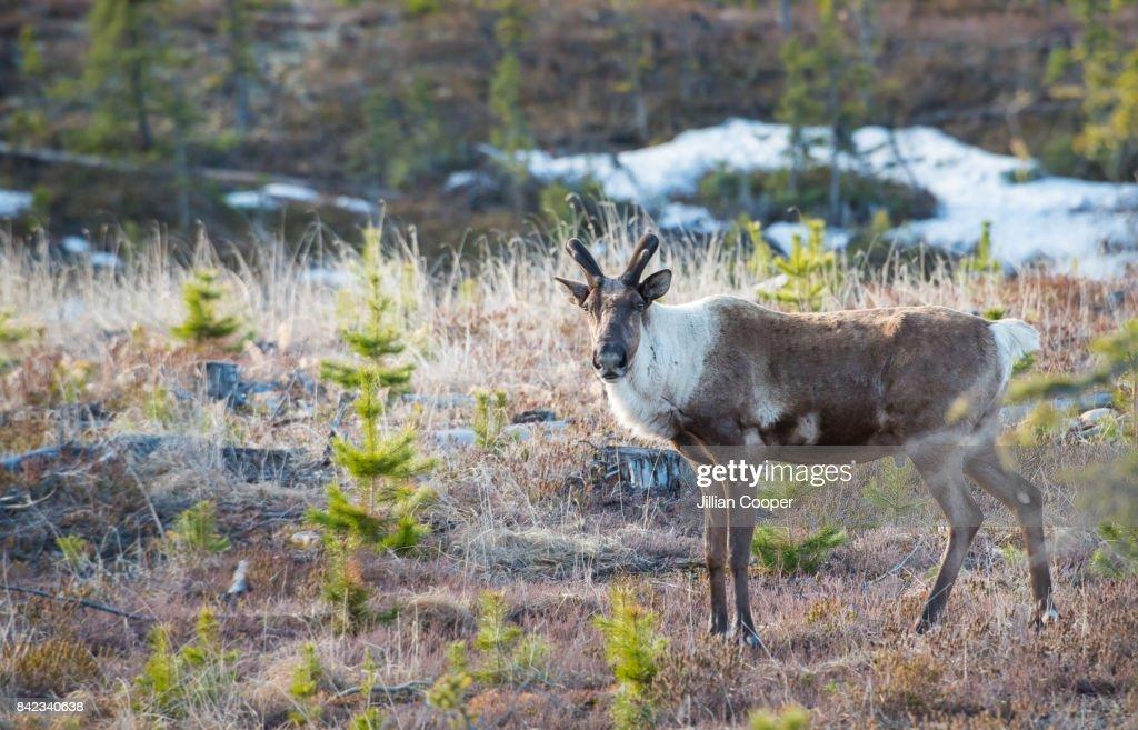 Caribou : Stock Photo