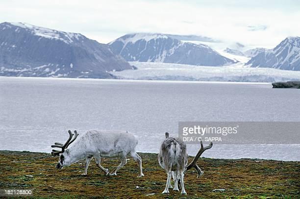 Caribous or Reindeer Cervids or Deer Ny Alesund Svalbard Islands Norway