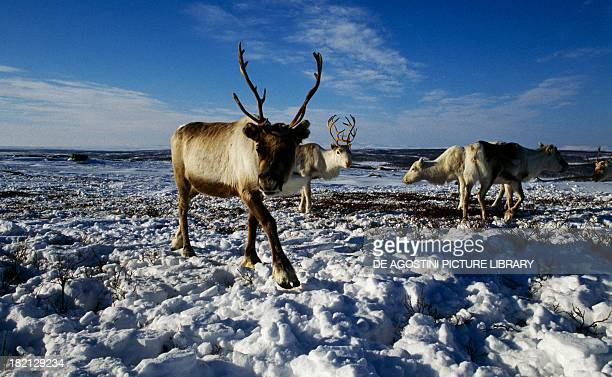 Caribous or Reindeer Cervids or Deer surroundings of Karasjok Lapland Finnmark County Norway