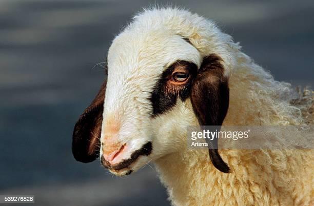 Carinthian sheep lamb close up of head