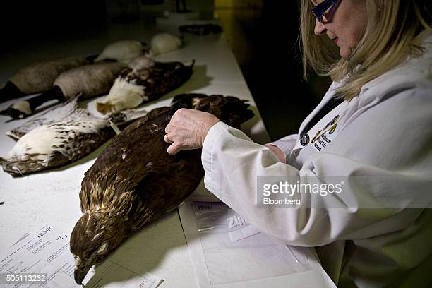 Carla Dove program manager of the Smithsonian Institution's feather identification lab stands next to a golden eagle specimen in the feather...
