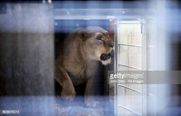 Carla the lion arrives at the quarantine enclosures at the Yorkshire Wild Life Park after being rescued from a Romanian zoo