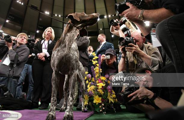 Carlee a German Shorthaired Pointer is mobbed by photographers after winning the Westminster Kennel Club Dog Show's Best In Show award at Madison...