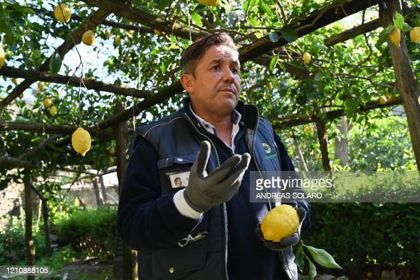 Carlo De Riso owner of the 'Costieragrumi De Riso' traditional lemon growing company is pictured in a lemon orchard set on a typical terraced garden...
