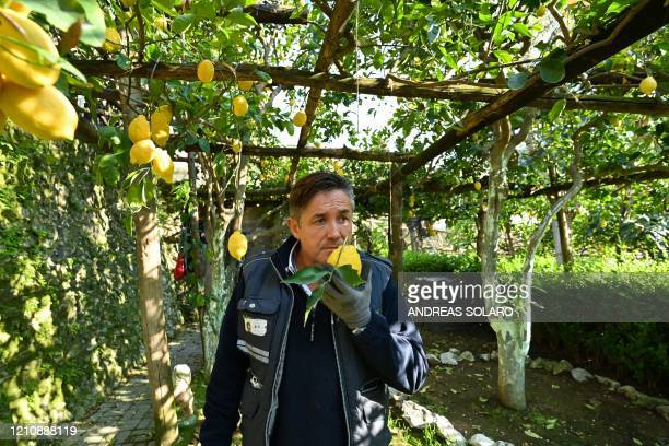 Carlo De Riso owner of the 'Costieragrumi De Riso' traditional lemon growing company smells a lemon in a lemon orchard set on a typical terraced...