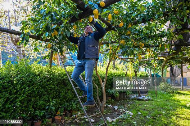 Carlo De Riso owner of the 'Costieragrumi De Riso' traditional lemon growing company checks lemons in an orchard set on a typical terraced garden on...