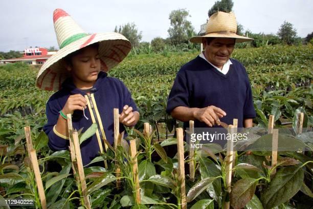 Carlos Leonardo Gaspar Calderon and his grandfather Juan Calderon take care of their avocado plants in a breeding ground in the outskirts of Uruapan...