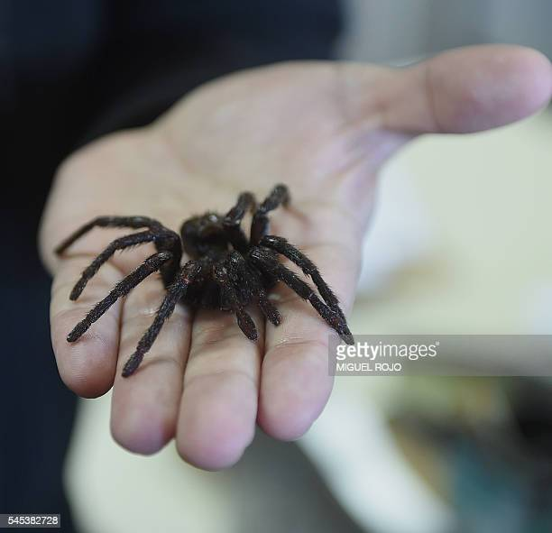 Carlos Perafan coordinator of the team that recently discovered the Kankuamus Marquezi tarantula in Colombia shows a specimen at the Natural Sciences...