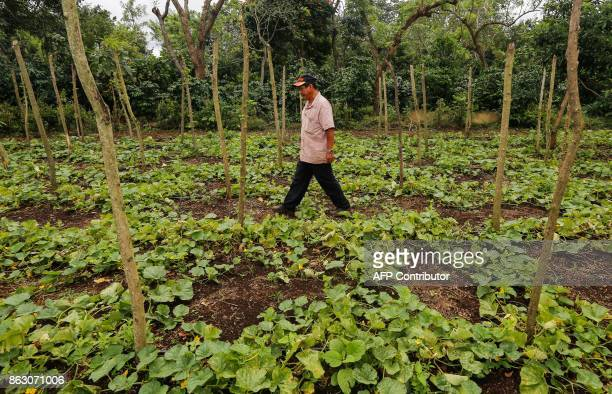 Carlos Perez checks the melon crop at the 'San Dionisio' farm where he grew coffee and now grows fruit and ornamental trees due to the loss of land...
