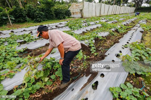 Carlos Perez checks the melon crop at the 'San Dionisio' farm where they grew coffee and now grow fruit and ornamental trees due to the loss of land...