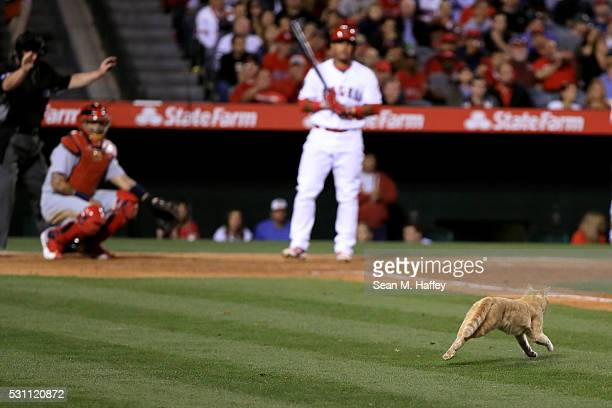 Carlos Perez of the Los Angeles Angels of Anaheim and Yadier Molina of the St Louis Cardinals look on as umpire Gerry Davis halts play when a cat ran...