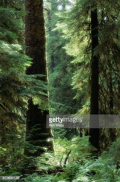 carmanah forest - carmanah walbran provincial park stock pictures, royalty-free photos & images