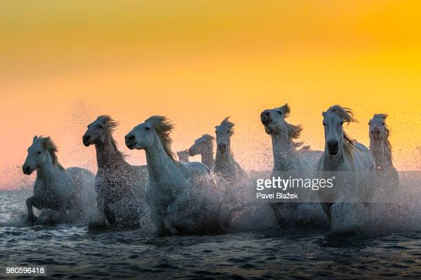 carmargue horses running in water. - horses running stock pictures, royalty-free photos & images