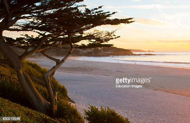 Carmel California cypress tree and waves at sunset on ocean at beach below city near Pebble Beach
