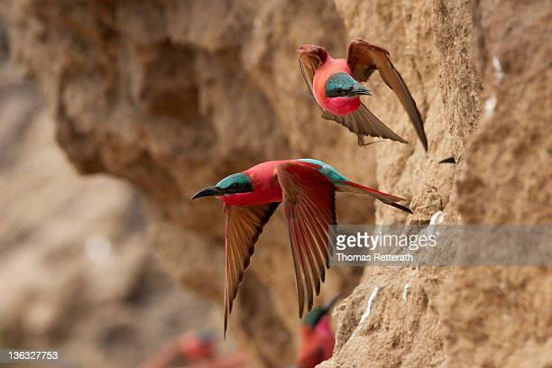 carmine bee eaters flying - south luangwa national park stock pictures, royalty-free photos & images