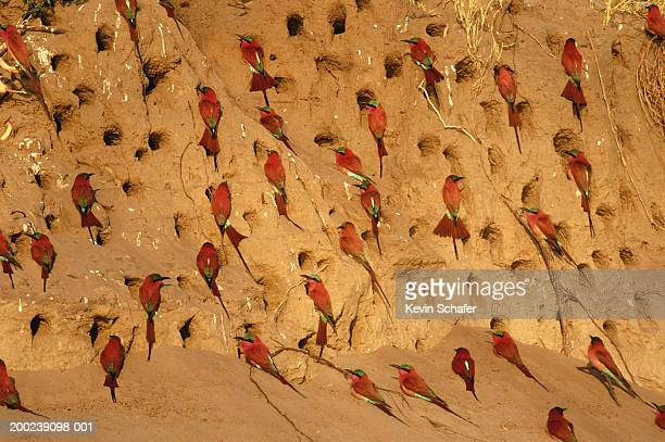 Carmine bee-eaters (Merops nubicoides) at nesting holes
