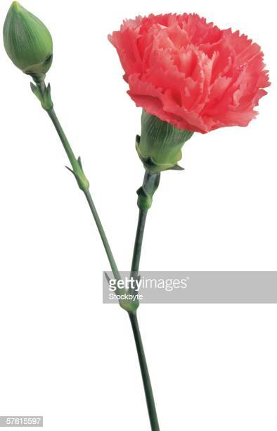 carnation flower and bud - carnation flower stock photos and pictures