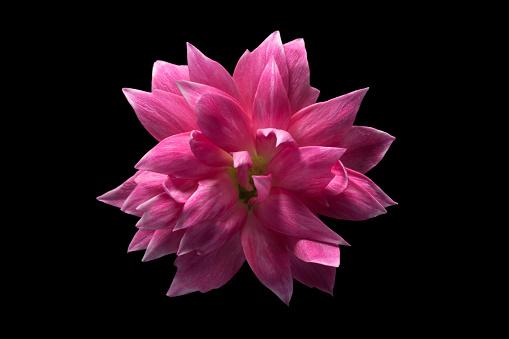 Carnation Flower on Black Background - gettyimageskorea