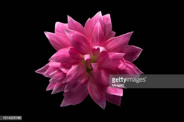 carnation flower on black background - fleurs en gros plan photos et images de collection