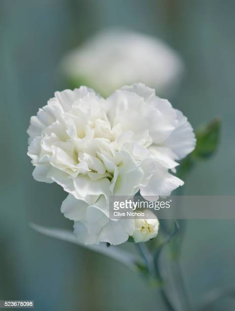 carnation flower - carnation flower stock pictures, royalty-free photos & images