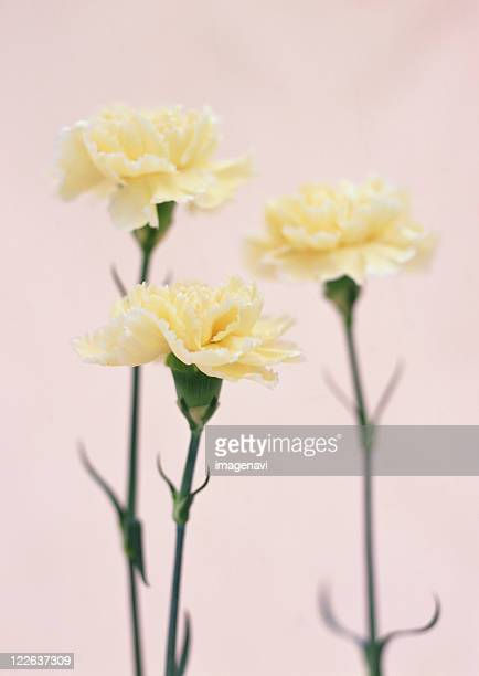 carnation - carnation flower stock photos and pictures