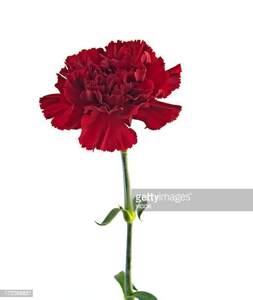 carnation - carnation flower stock pictures, royalty-free photos & images